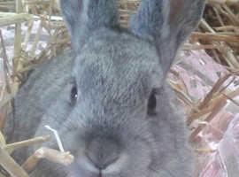 ***Pretty chinchilla bunny***