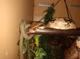2 Boa constrictors and vivarium