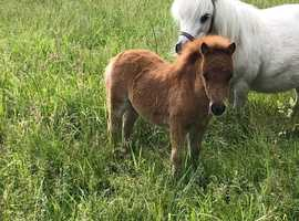 One in a million Shetland Pony filly