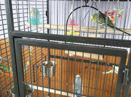 5 budgies plus cage
