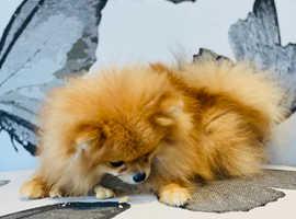 Adorable tiny Boo type Pomeranian girl