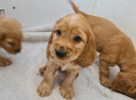 Show tipe cocker spaniel puppies