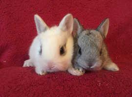 Pure breed Netherland Dwarf babies