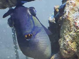 Trigger fish (large)