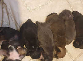 Pug x puppys for sale very very nice puppys