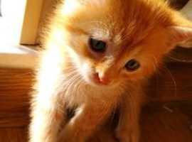 Loking for ginger kitten