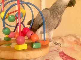 African Grey Congo Baby 9 Months