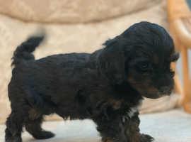 KC Registered Minature Poodle X Shih Tzu Puppies