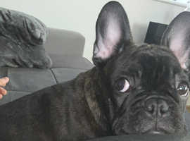 Quality  Frenchies Available