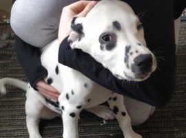Dalmatian Dogs Puppies Wanted In Essex Find Dogs Puppies