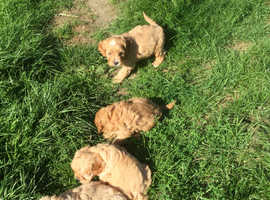 Beautiful boys and girls Cavapoo puppies