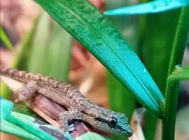 Hatchling mourning geckos