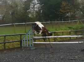 14h 3 year old filly registered with dartmoor pony society