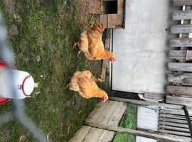 Buff Orpington Cockerels