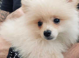 Adorable Pom pup for sale