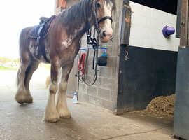 Approximately 19hh Clydesdale