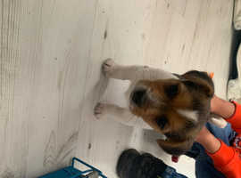 ( MINIATURE ) jack russell puppies