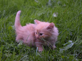 Adorable fluffy ginger male kitten
