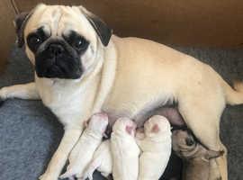 KC Reg Colour Litter Of Pug Puppies