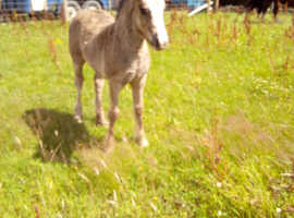 Nice little cob filly