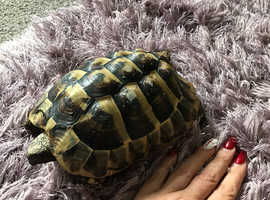 10 year old tortoise plus table