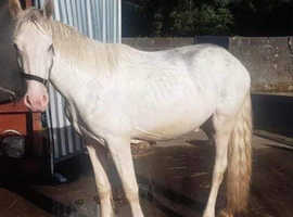Blagdon 2 year old gelding to make 14.2hh