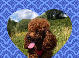 Deep red toy poodle available for stud duties