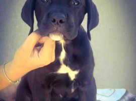 Cane corso pups Available