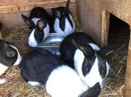 8 Week Old Dutch Rabbits