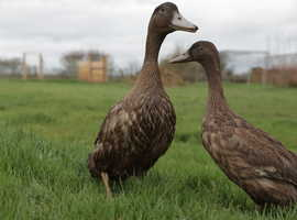 Beautiful Khaki Campbell Ducks Off Heat