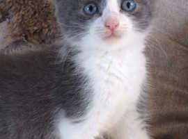 Stunning grey and white kitten