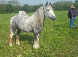 12.3 3 year old blue and white mare