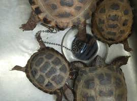 Horsfield tortoise 2 years old