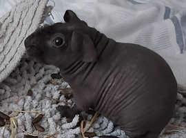 Female and male guinea pig