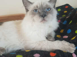Perfect ragdoll boy older kitten
