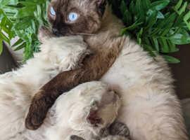 Blue point curly Selkirk rex kittens