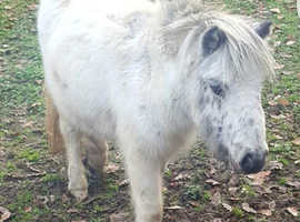 Well Bred British Miniature Horse