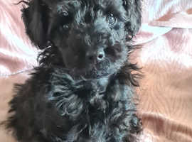 Tiny Toy Poodle boy