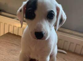 Lovely lurcher pups