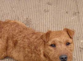 Middleton Lines Working Lakeland Terrier pups
