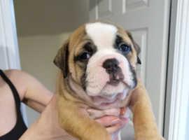 Old English Bulldog pups, show winning parents