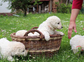 Hungarian Kuvasz puppies for sale.