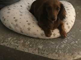 Beautiful miniature dachshunds waiting list open!