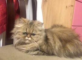Beautiful Persian chinchilla girl for sale