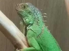 Green iguana with setup