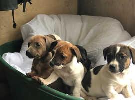 Miniature dachshund x Jack Russell