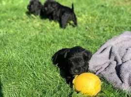 All Black Mini Schnauzer Puppy's
