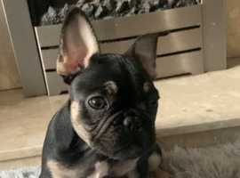 French bulldog kc boy 1200 or closest offer