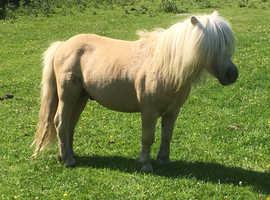 Palomino Shetland Stallion