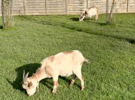 2 Pygmy Goat Nannies